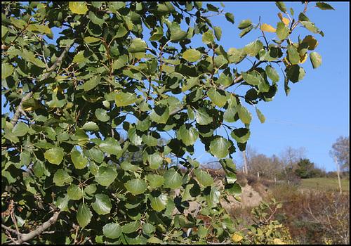 Populus tremula - tremble, peuplier tremble  3276