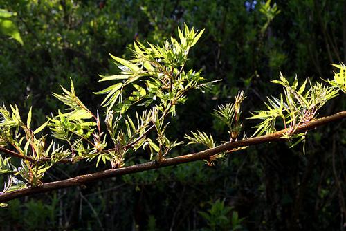 Sorbaria sorbifolia - sorbaria à feuilles de sorbier 3280