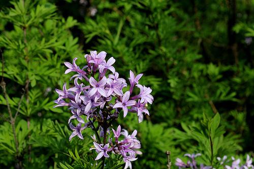 Syringa protolaciniata et espèces voisines 3281
