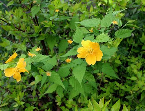 Kerria japonica - corète du Japon 3282
