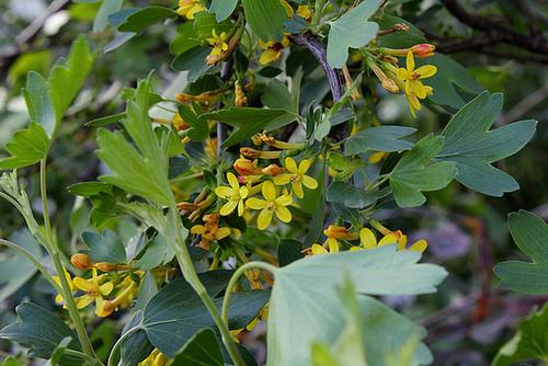 Ribes aureum (= R. odoratum) - groseiller doré  3285
