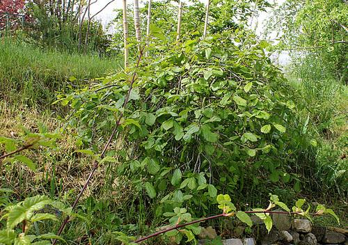 Parrotia persica - arbre de fer 3288