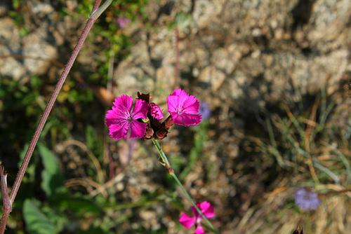 Dianthus carthusianorum - oeillet des Chartreux 3294