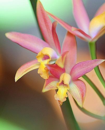 Laeliocattleya Miva Aurica (= Cattlianthe Miva Aurica) 3298