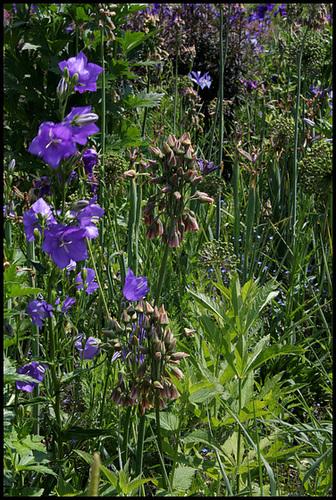 Allium siculum subsp. dioscoridis (= Allium bulgaricum) - ail de Bulgarie 3300