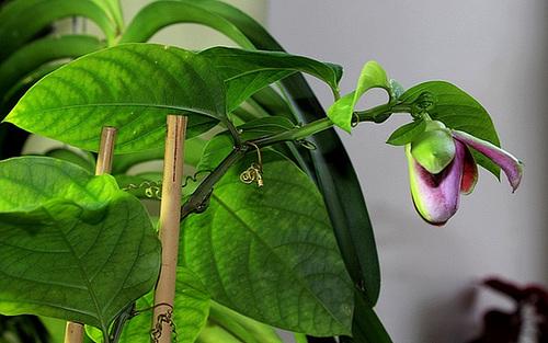 Passiflora quadrangularis et son hybride x Decaisnea 3305
