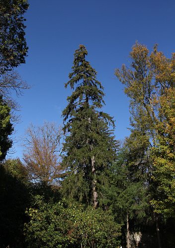 Picea abies (= Picea excelsa) - épicéa commun 3309