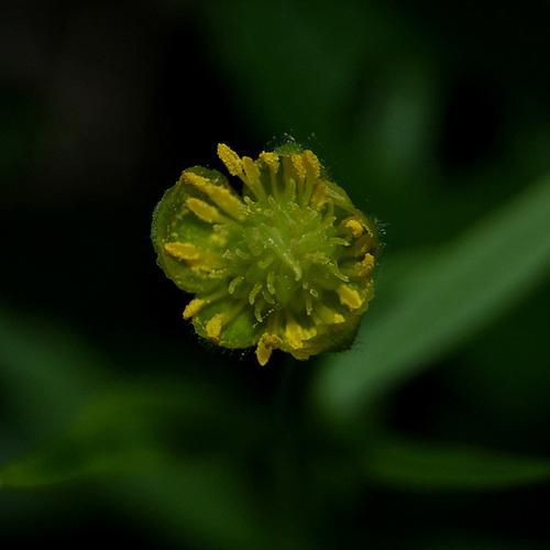 Ranunculus auricomus - renoncule à têtes d'or 332