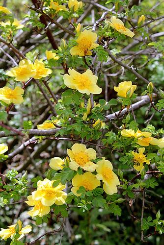 rosier 'Canary Bird' (= Rosa xanthina 'Canary Bird') 3321