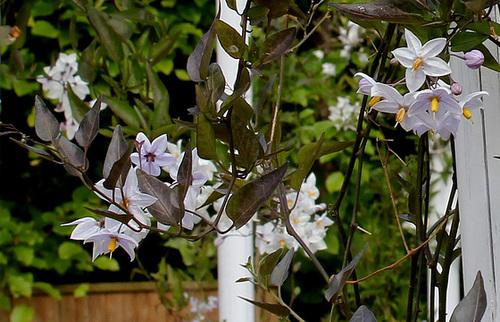 Solanum jasminoides - faux-jasmin 3322
