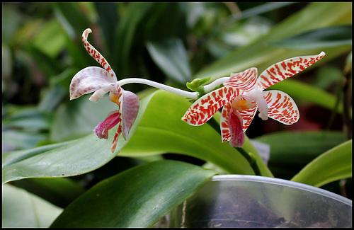 Phalaenopsis sumatrana (South Thailand) 3324