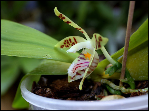 Phalaenopsis sumatrana (= P. zebrina) 3325