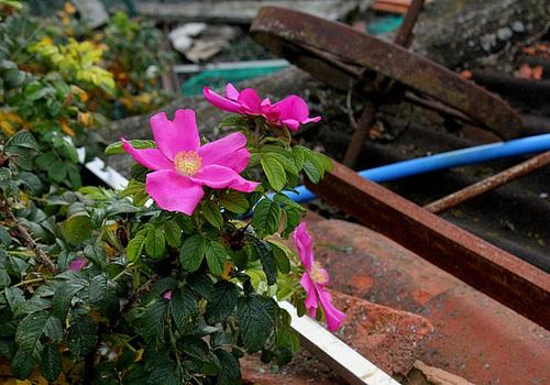 Rosa rugosa - rosier rugueux  3327
