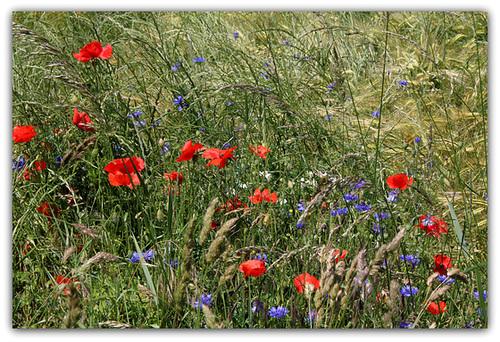 Cyanus segetum (= Centaurea cyanus) - bleuet  3329
