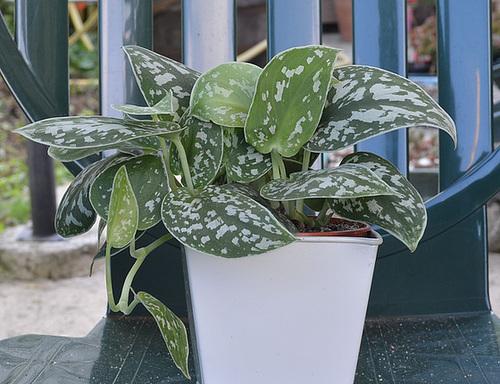 Spathiphyllum, Penstemon, Schefflera, Scindapsus pictus, Calla sp. [id. non terminée] 3339