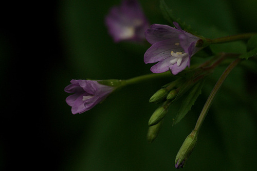 Epilobium montanum (groupe) - épilobe des montagnes 339