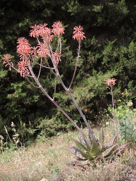 Aloe maculata et Aloe grandidentata - différencier  353