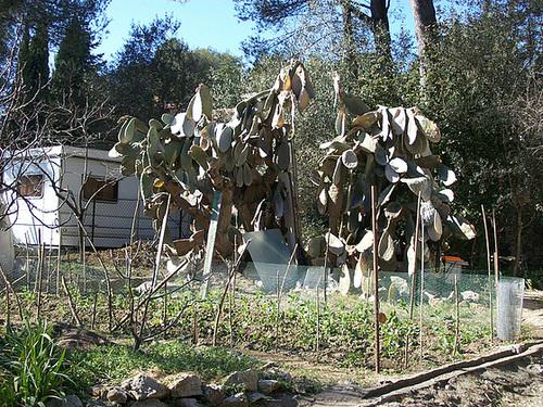 Opuntia ficus-indica  355