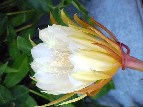 epiphylium - Epiphyllum cooperi 356