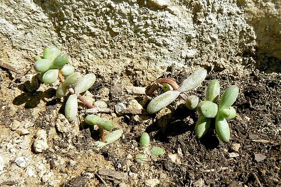 Echinopsis  sp., Mammilaria elongata, Corpuscularia lehmanii, Crassula perfoliata ssp falcata, Crassula perforata, Senecio articulatus [identifications] 360