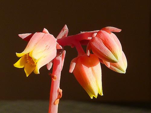Echeveria elegans 368