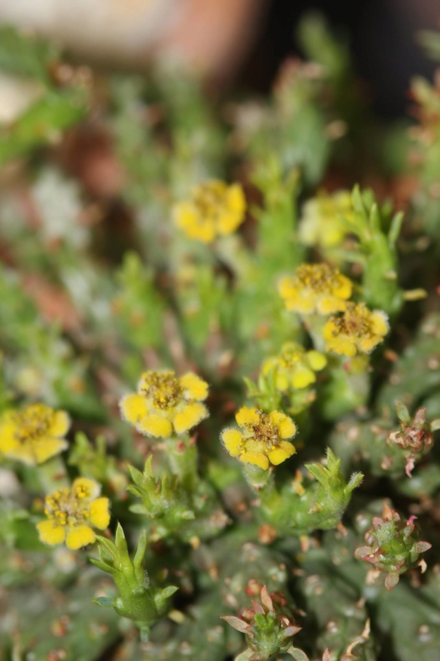 Euphorbia flanaganii 370