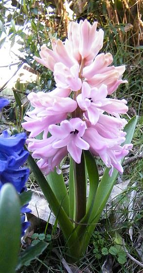 Hyacinthus orientalis - jacinthe 371