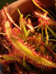 plantes carnivores rustiques - climat tempéré frais  - Page 4 3710