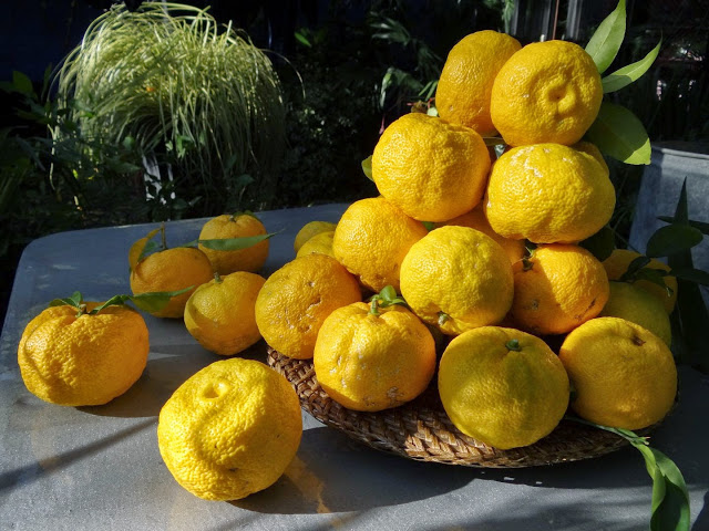 Citrus junos - yuzu 380