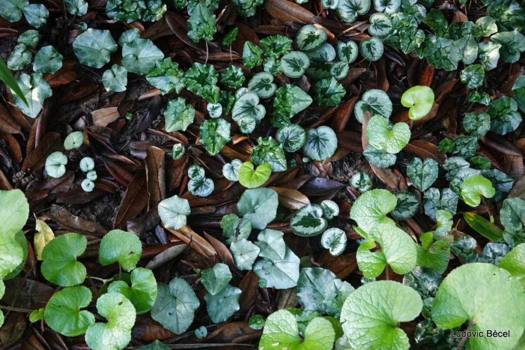Cyclamen hederifolia = neopolitanum - cyclamen de Naples - Page 2 38ludo10