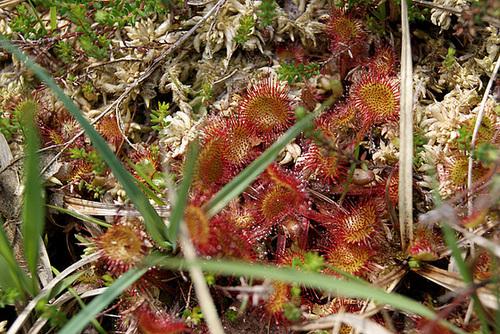 plantes carnivores rustiques - climat tempéré frais  - Page 4 38serg10