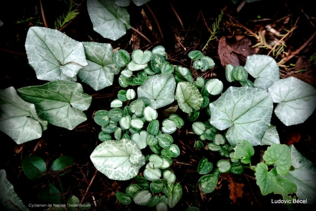 Cyclamen hederifolia = neopolitanum - cyclamen de Naples - Page 3 3914