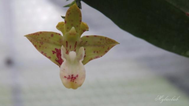 Polystachya maculata 393