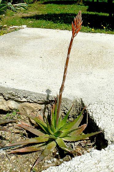 Aloe - identifications [verrouillé] - Page 3 3_6avi10