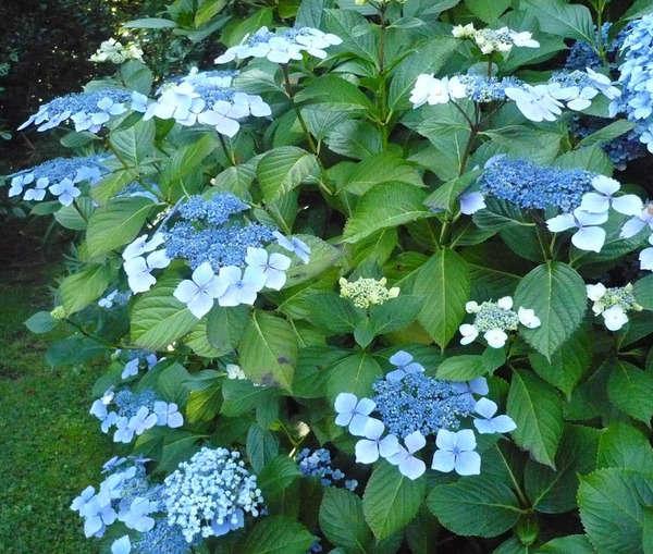 Hydrangea macrophylla - hortensia 3_aval10