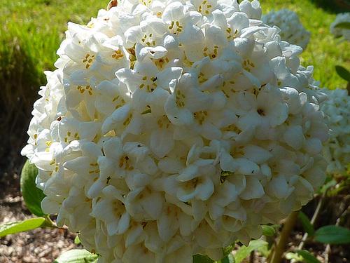 Viburnum x burkwoodii 3_cuga10