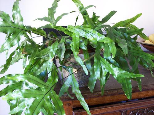 Microsorum musifolium - fougère crocodile 3_sole10