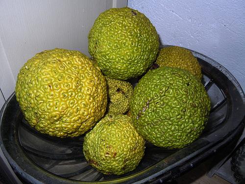 Maclura pomifera - oranger des Osages 4-abei16