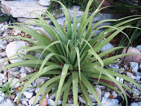 rusticité des cactus et succulentes en extérieur - listes - Page 2 4-abei17