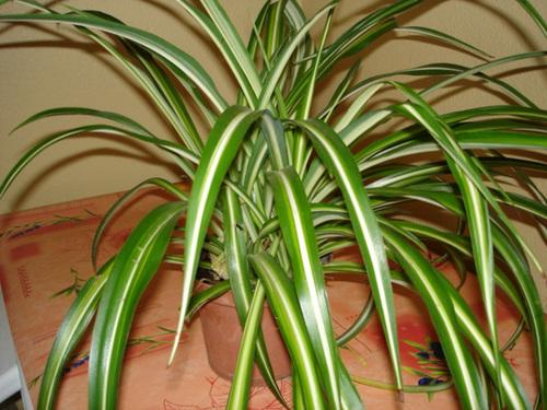 Chlorophytum comosum  4-bip10