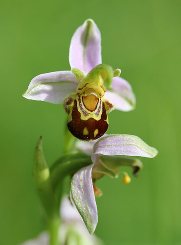 Ophrys apifera - ophrys abeille 4-hima10