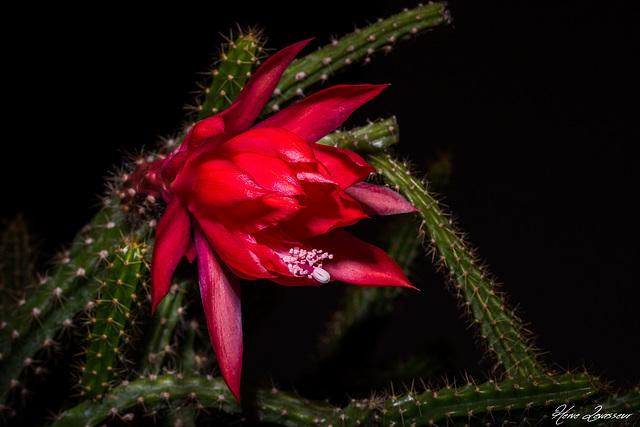 Disocactus x mallisonii (= Aporocactus = Aporoheliocereus) 4-meal15