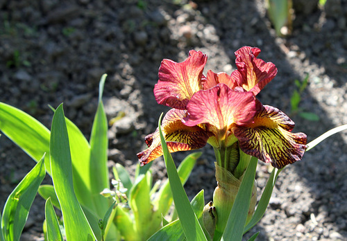 Iris nains horticoles 2012-2015 - Page 4 4-neir12