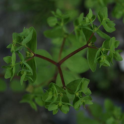 Euphorbia peplus - euphorbe des jardiniers 4-serg35