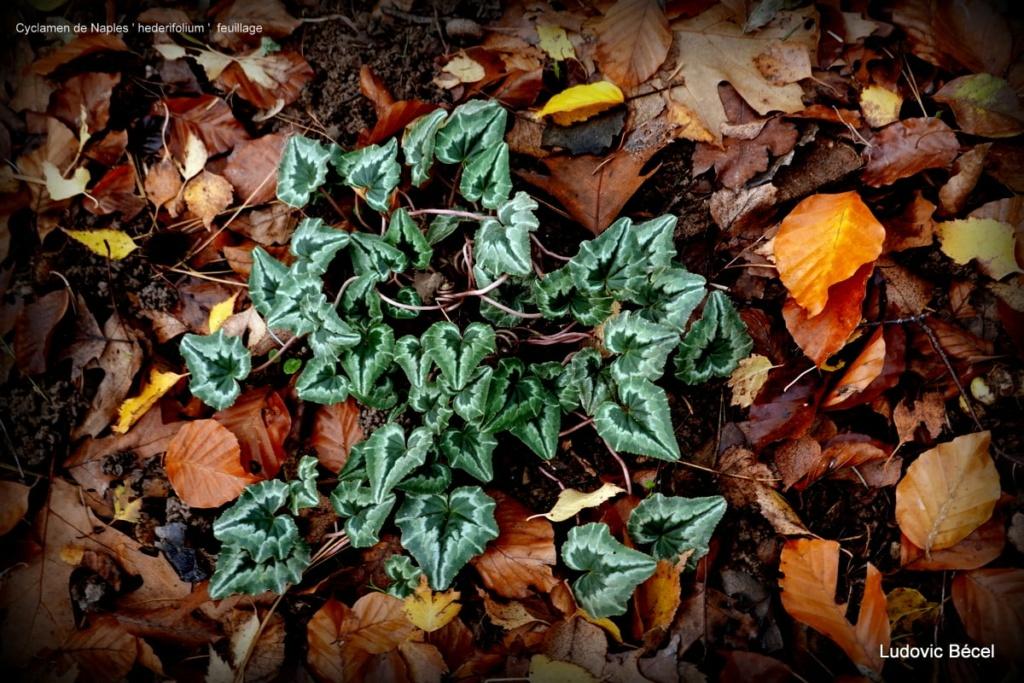 Cyclamen hederifolia = neopolitanum - cyclamen de Naples - Page 2 4014