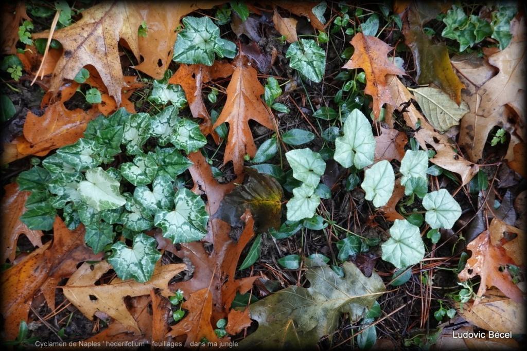 Cyclamen hederifolia = neopolitanum - cyclamen de Naples - Page 2 41101