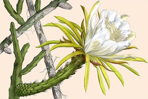 Selenicereus hamatus 4127