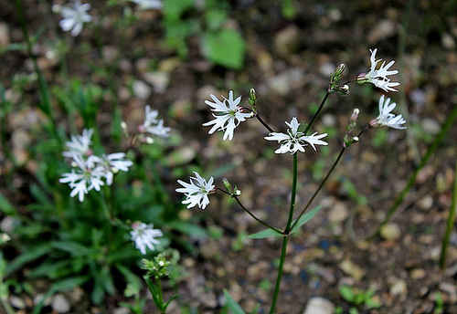 Silene flos-cuculi 'White Robin' (= Lychnis) - lychnis fleur de coucou blanc  4131