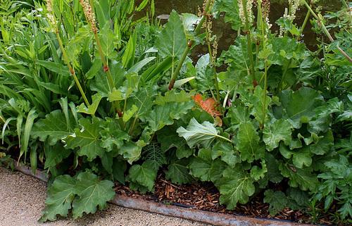 Rheum - rhubarbes ornementales  4133