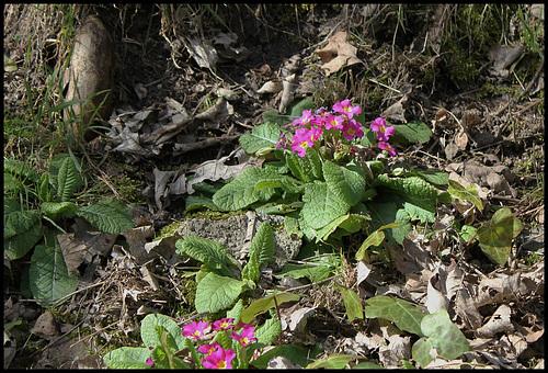 Primula vulgaris - primevère commune, primevère acaule 4142